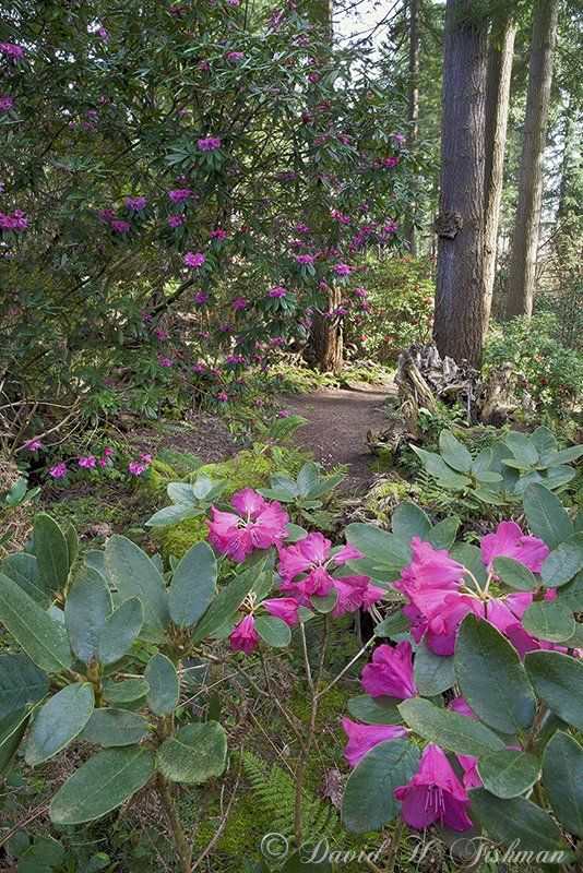 Rhododendron Species Botanical Garden   Federal Way, WA, United States. The  Victorian Stumpery