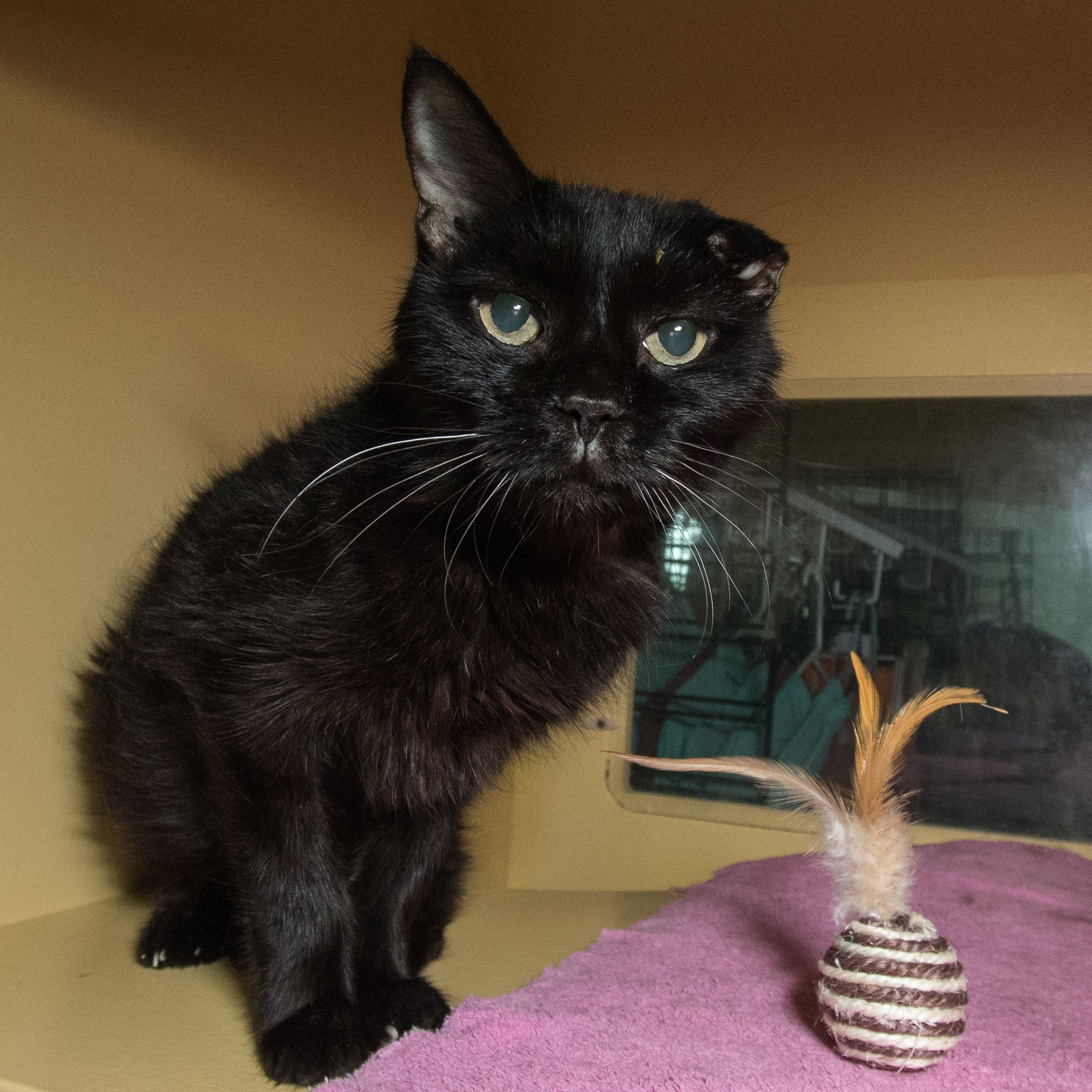 KITTY is an adoptable domestic short hair searching for a