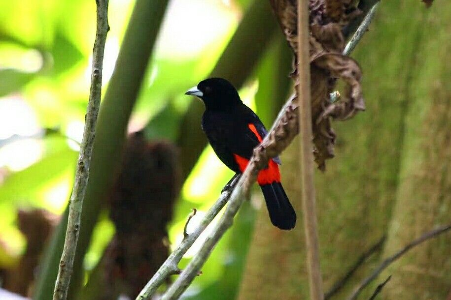 Cherries's Tanager @Costa Rica @Andreas Grieger Photography