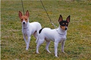 American Toy Fox Terrier Puppies Toy Fox Terrier Puppies Toy