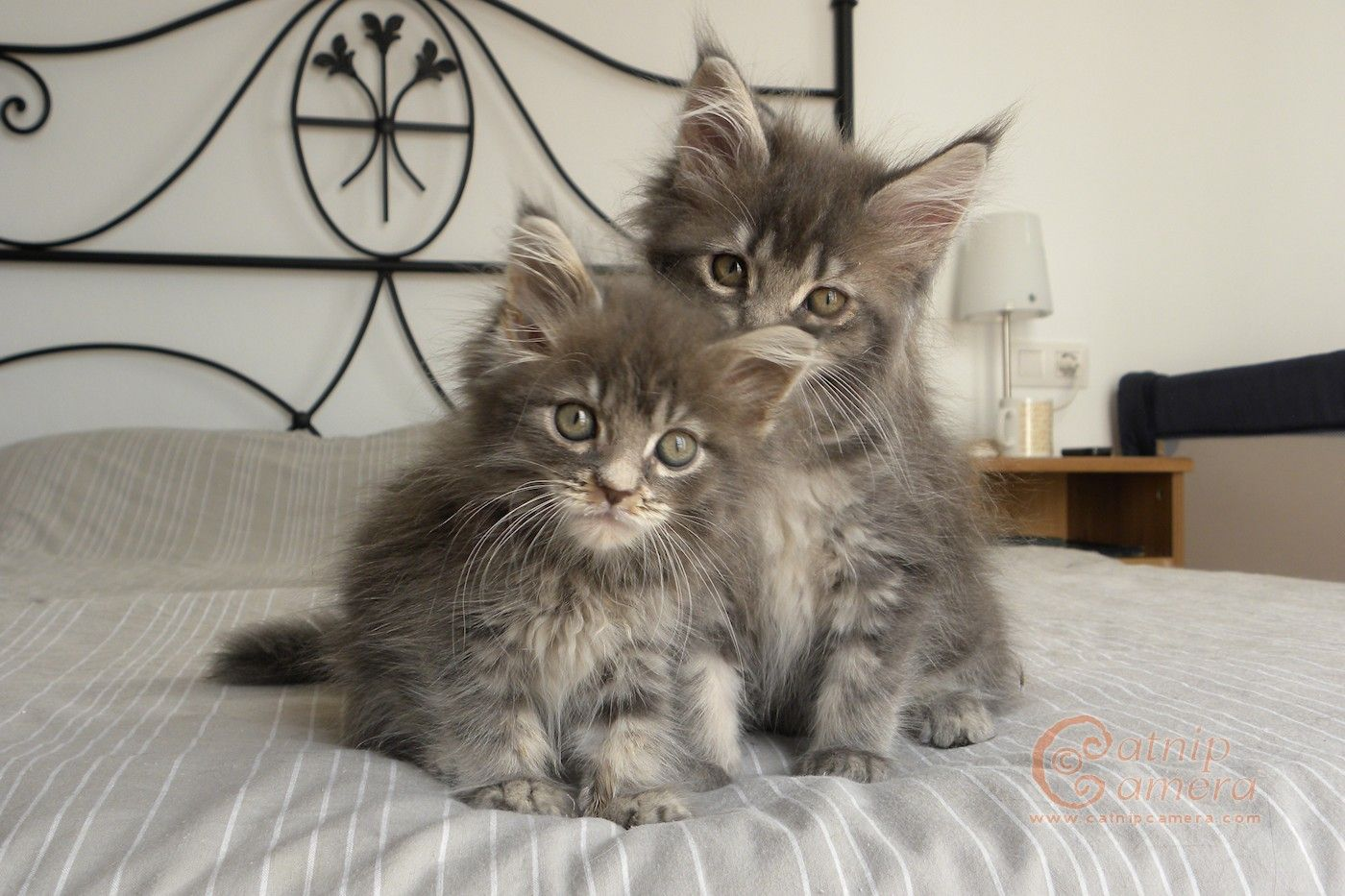 Maine coon kittens for sale in wichita kansas