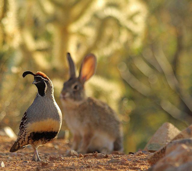 Desert Cottontail shadowing male Gambel's Quail. #desertlife