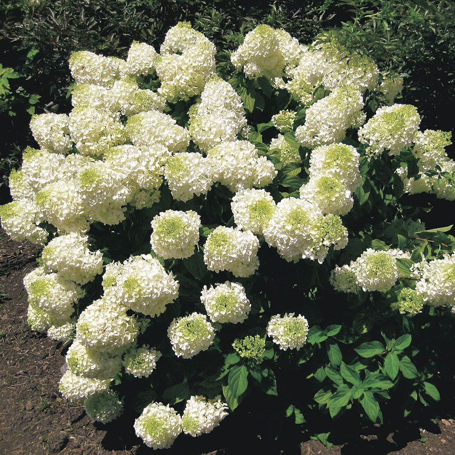 39 silver dollar 39 hydrangea hydrangea paniculata silver. Black Bedroom Furniture Sets. Home Design Ideas