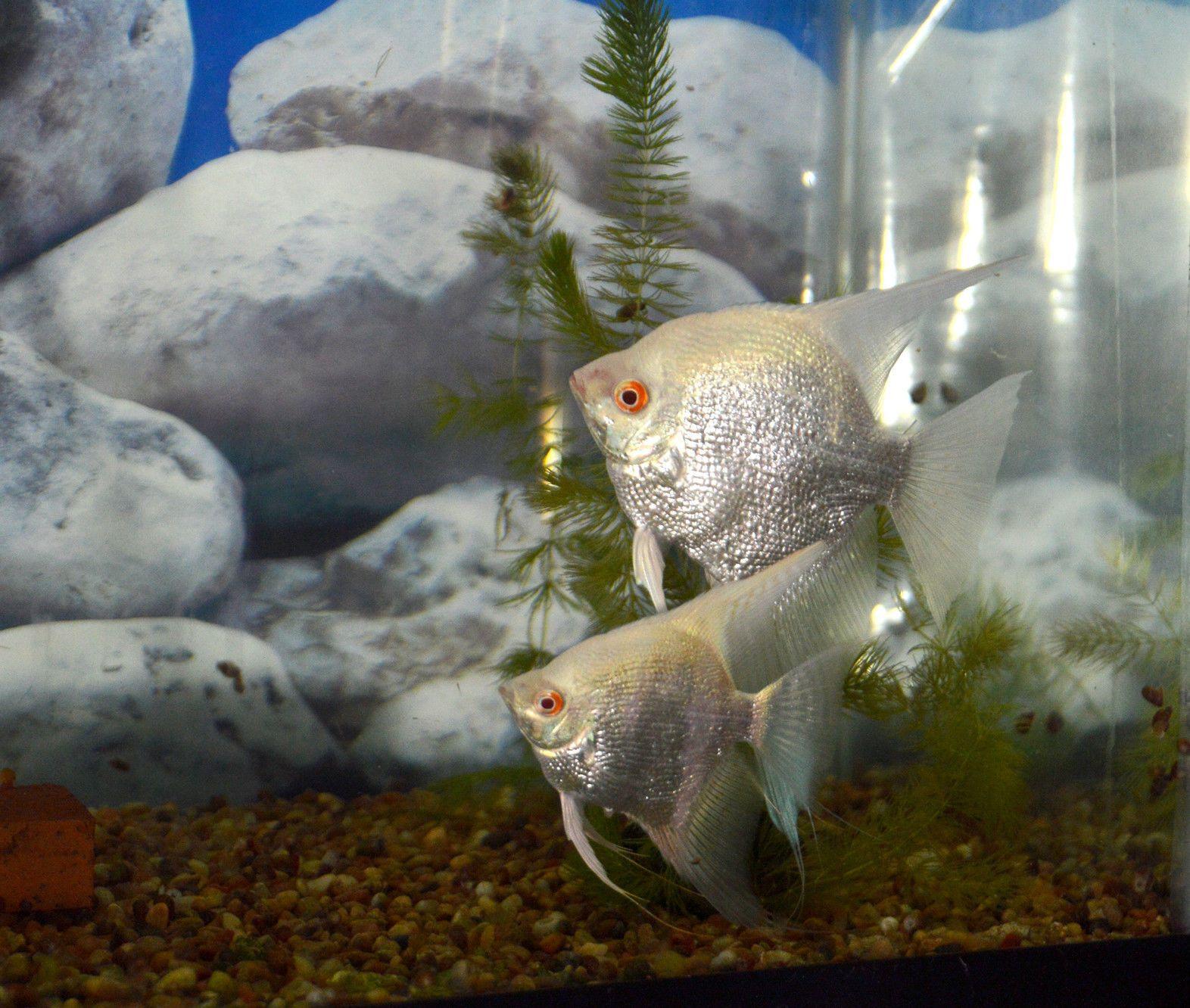 Albino Pearlscale Angelfish