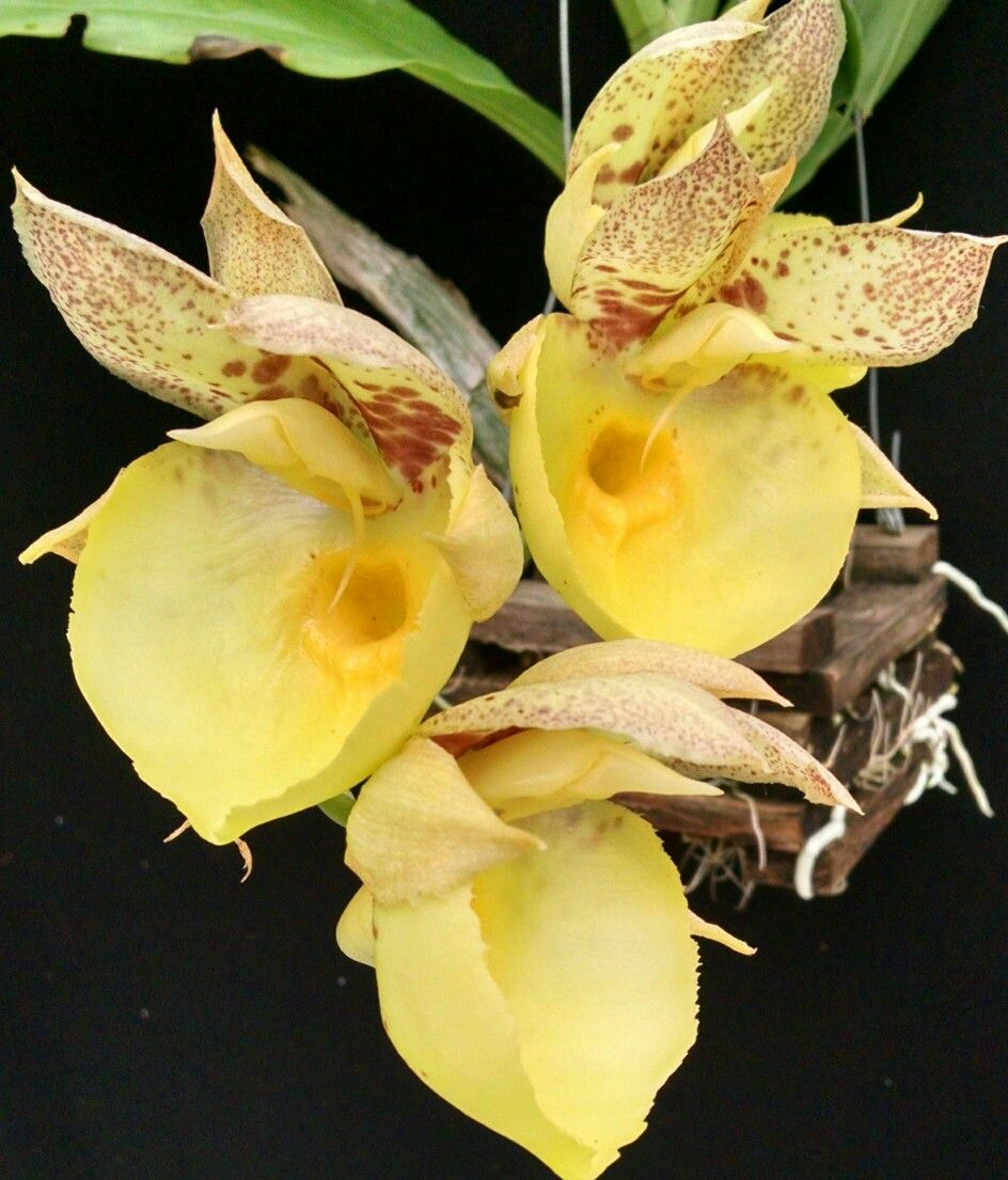 Catasetum orchidglade looks like egg yolks orchids orchids