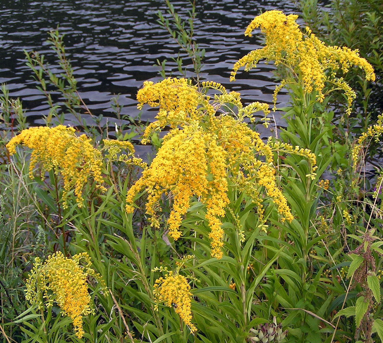 Goldenrod Cool Plants Kentucky State Flower Goldenrod Flower
