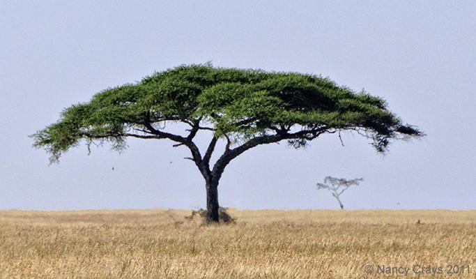 acacia tree google search trees pinterest tattoo. Black Bedroom Furniture Sets. Home Design Ideas