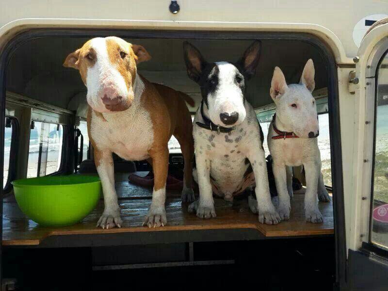 Bull terriers: zea , zitler & zaila
