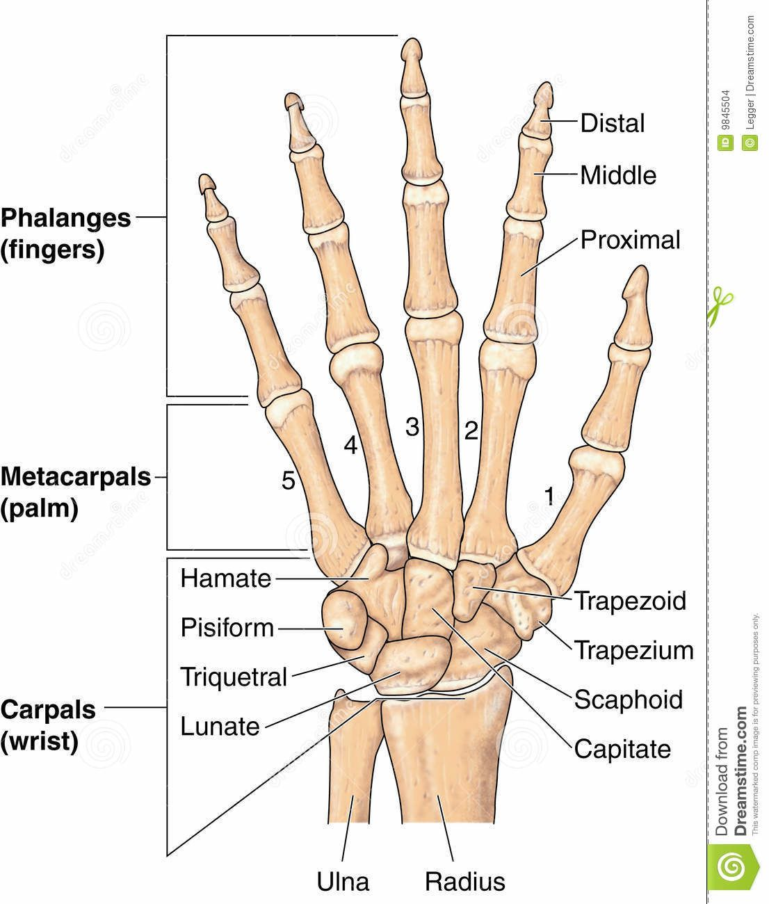 Bones of the hand and wrist. | For Lily | Pinterest | Bones and Hands