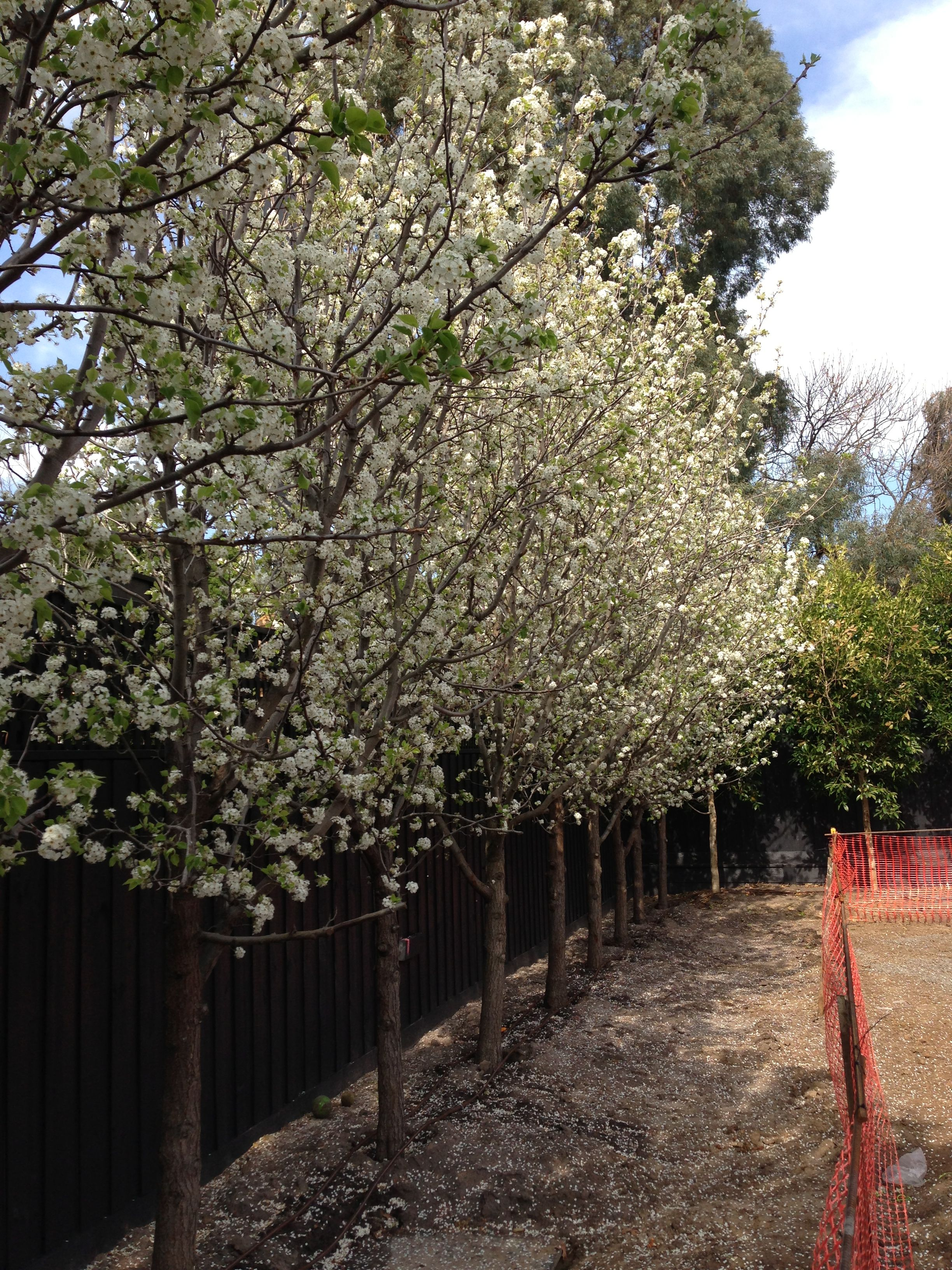 Manchurian Pear trees in Spring Ornamental pear tree