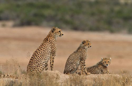 three cheetahs in a row, saw this and it was incredible.