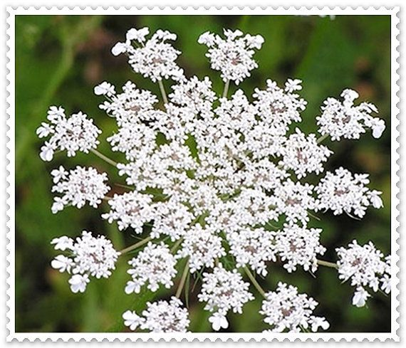 17 Lively Shabby Chic Garden Designs That Will Relax And: VikkiVines~QUEEN ANNE'S LACE~Victorian Favorite! Brilliant