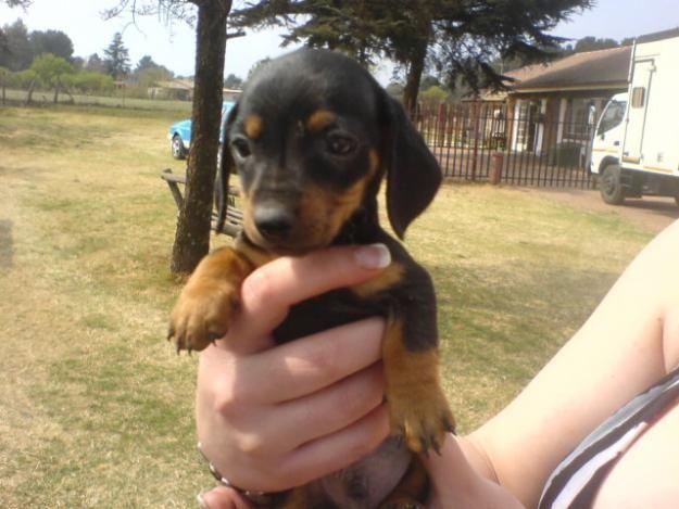 Miniature Doberman Pincher Pups Miniature Doberman Doberman