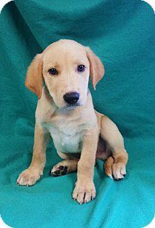 Chicago Il Golden Retriever Labrador Retriever Mix Meet Max A