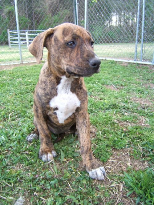 Trixie Boxer Lab Staffordshire Terrier Mix Puppy Adopted From All Breed Rescue Vt Brindle Adorable