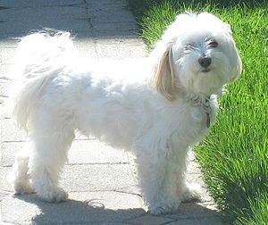 Adult Havanese puppy cut.