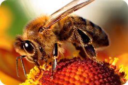 Veneno de abejas como tratamiento de Artritis y Artrosis