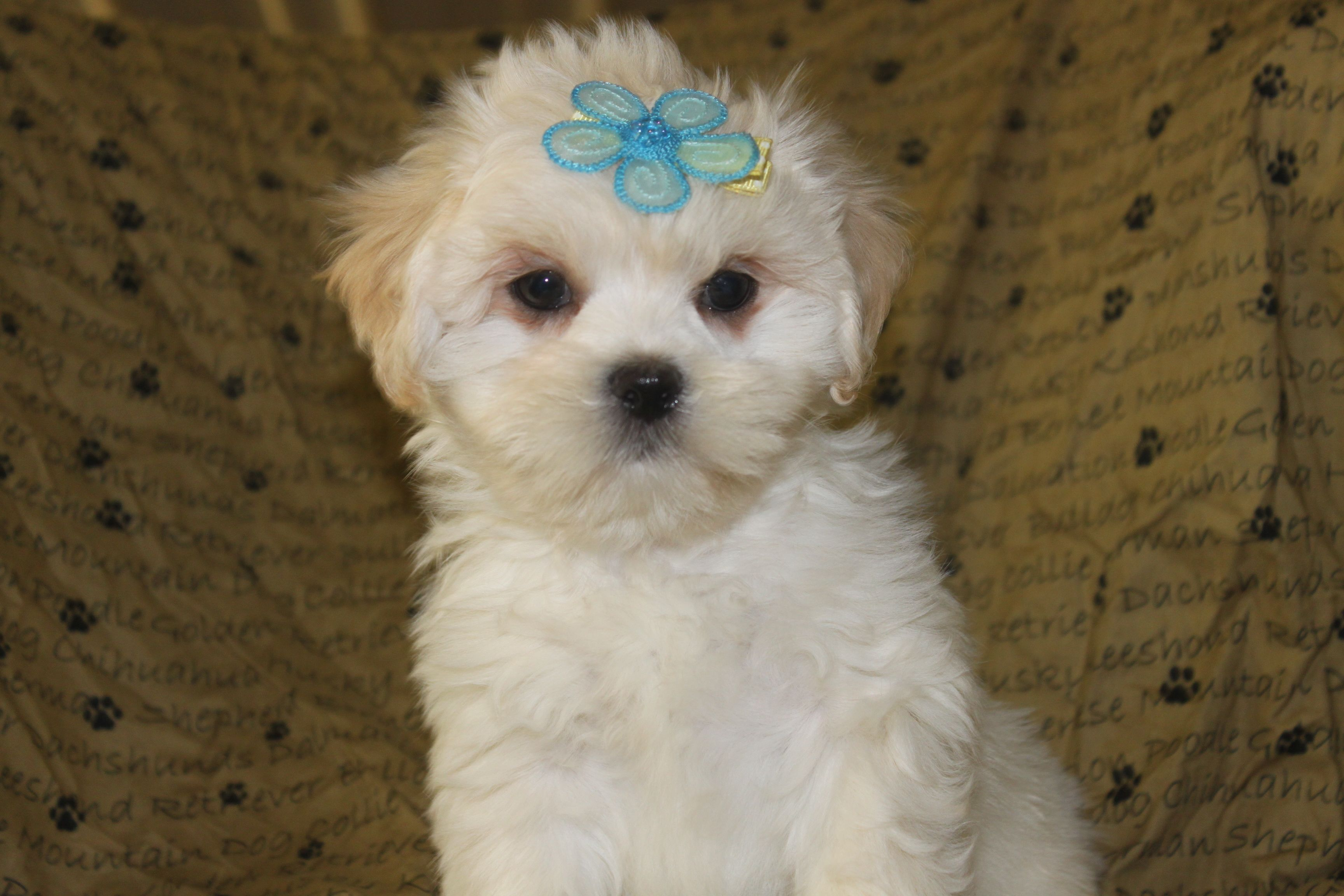 Zack is a lhasa apso puppy posted at