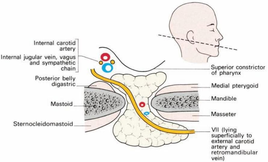 The Parotid Gland This Is The Largest Of The Salivary Glands Lying