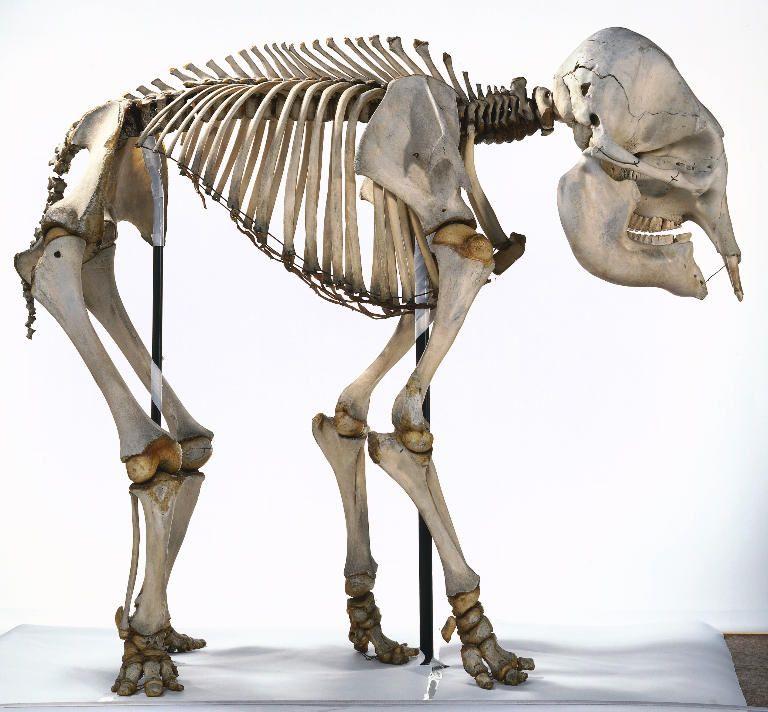 elephant skeleton | Skeletal | Pinterest | Anatomía, Anatomía animal ...