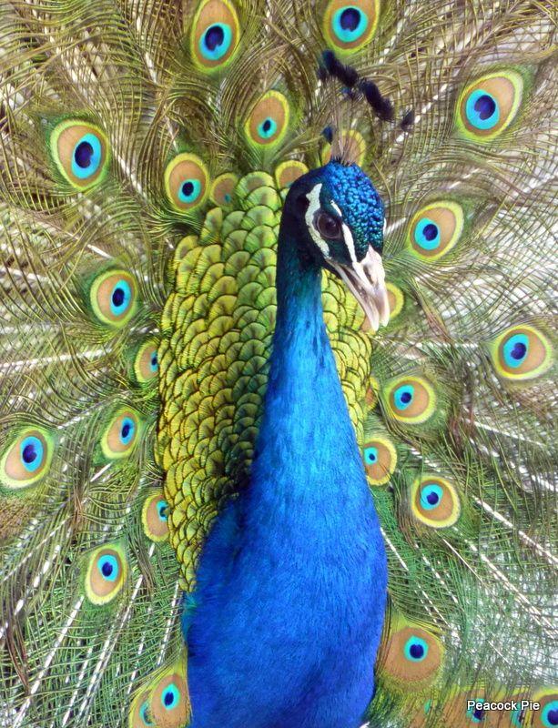 Peacock......