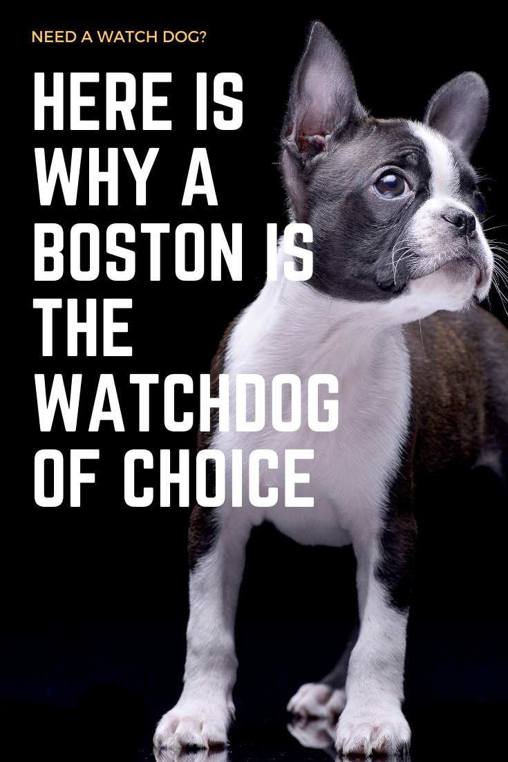 3 Reason Why Boston Terriers Are Great Watchdogs Boston Terrier Society Boston Terrier Terrier Boston Terrier Puppy