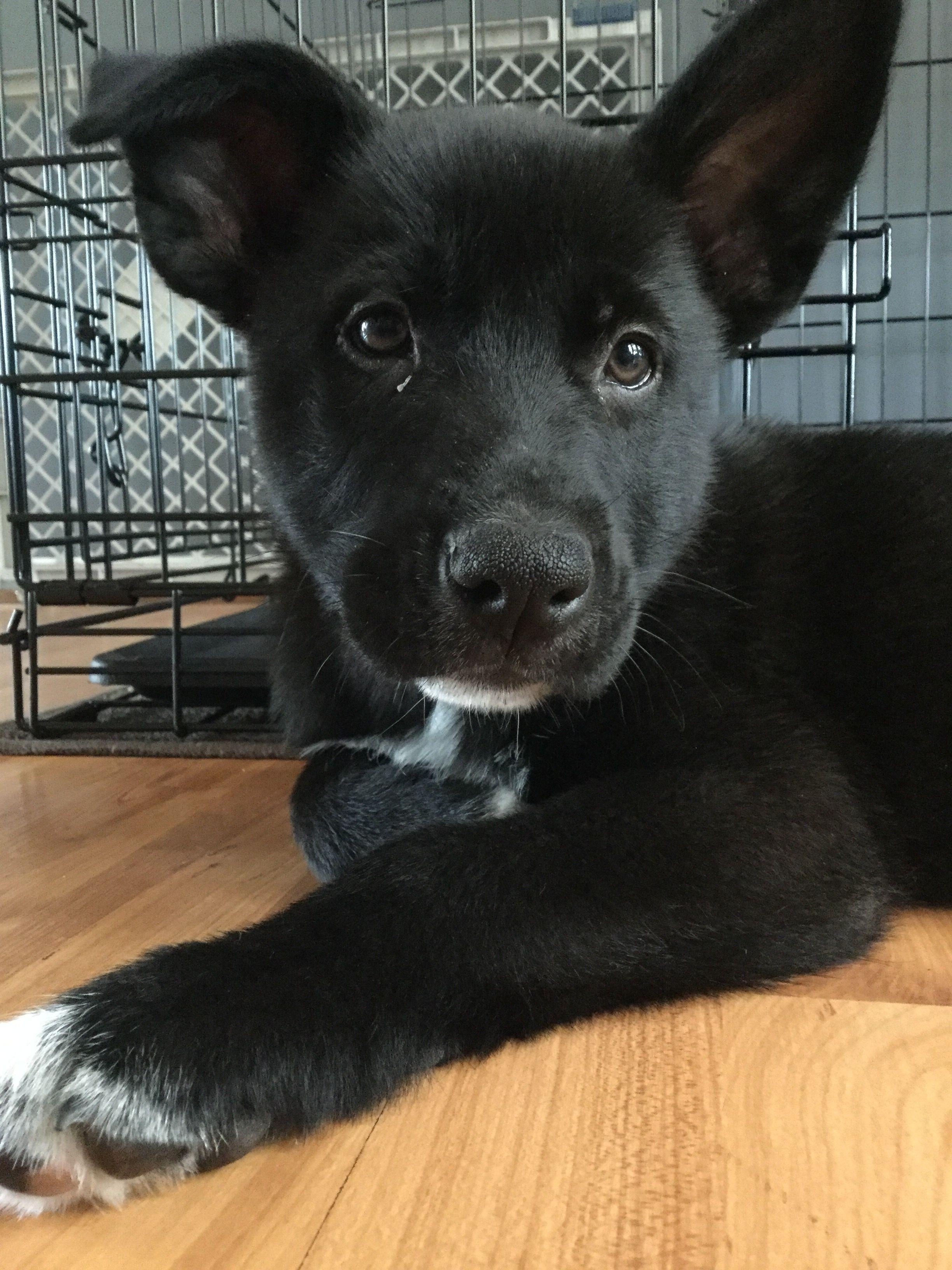 1 2 German Shepherd 1 4 Husky 1 4 Lab My Boy Bear Mixed Breed Dogs Puppy Mix Cute Animals
