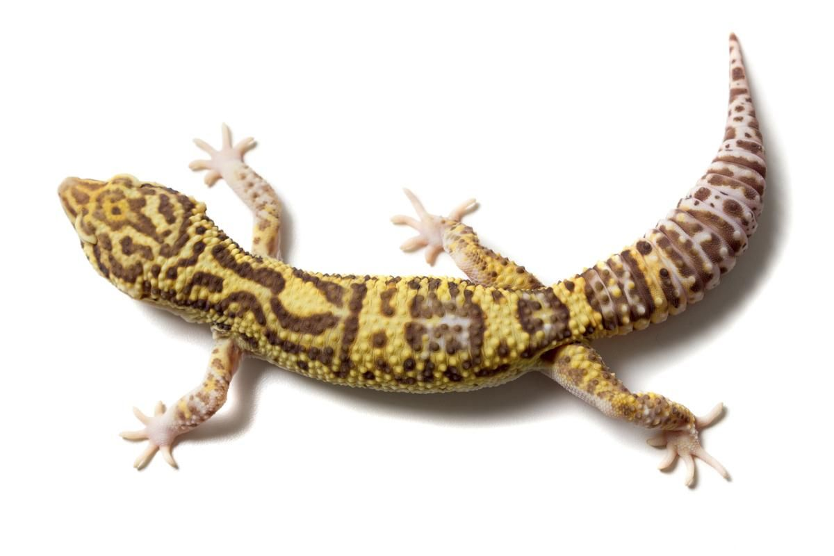Leopard gecko the next generation the best leopard of 2018 very cool leopard geckos unique and beautiful nvjuhfo Images