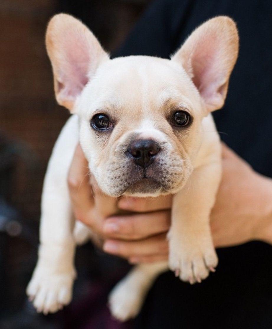French Bulldog Puppy Buldog Bulldog