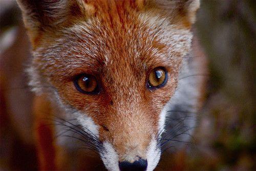 le renard.