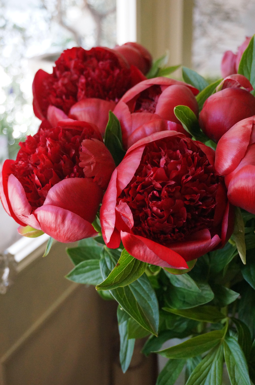 красивые красные пионы фото при