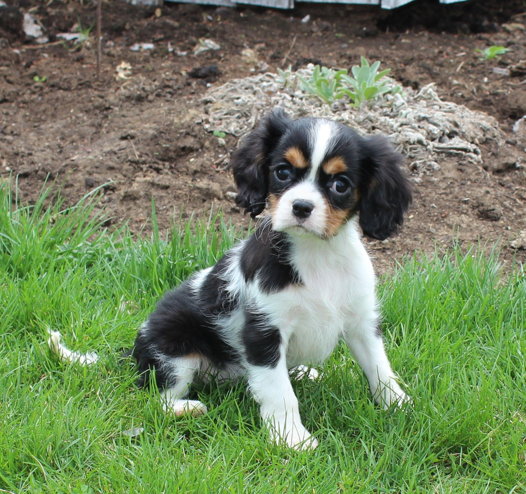 Puppies For Sale King Charles Cavalier Spaniel Puppy Spaniel
