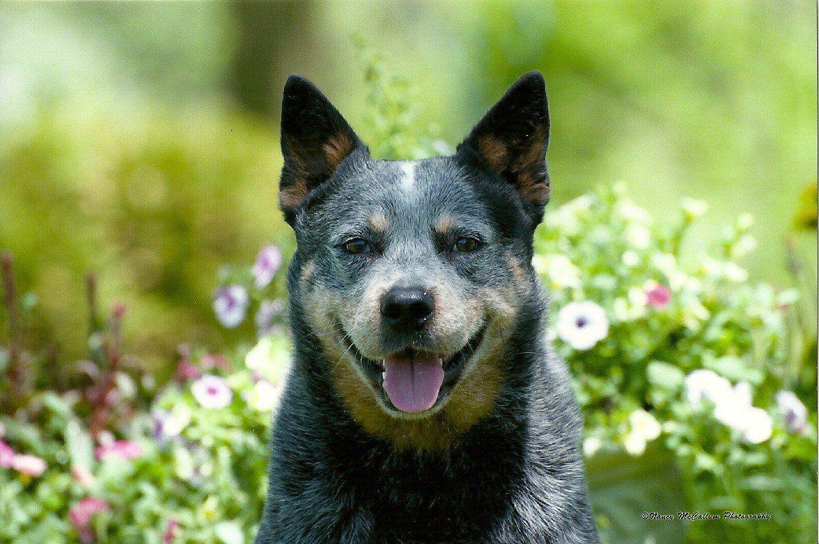 Multi Ch Kurpas Born Again Blue Heeler Puppies Austrailian Cattle Dog Heeler Puppies