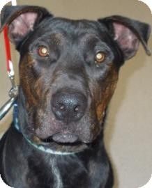 Salem Or Great Dane Rottweiler Mix Meet Axel A Dog For