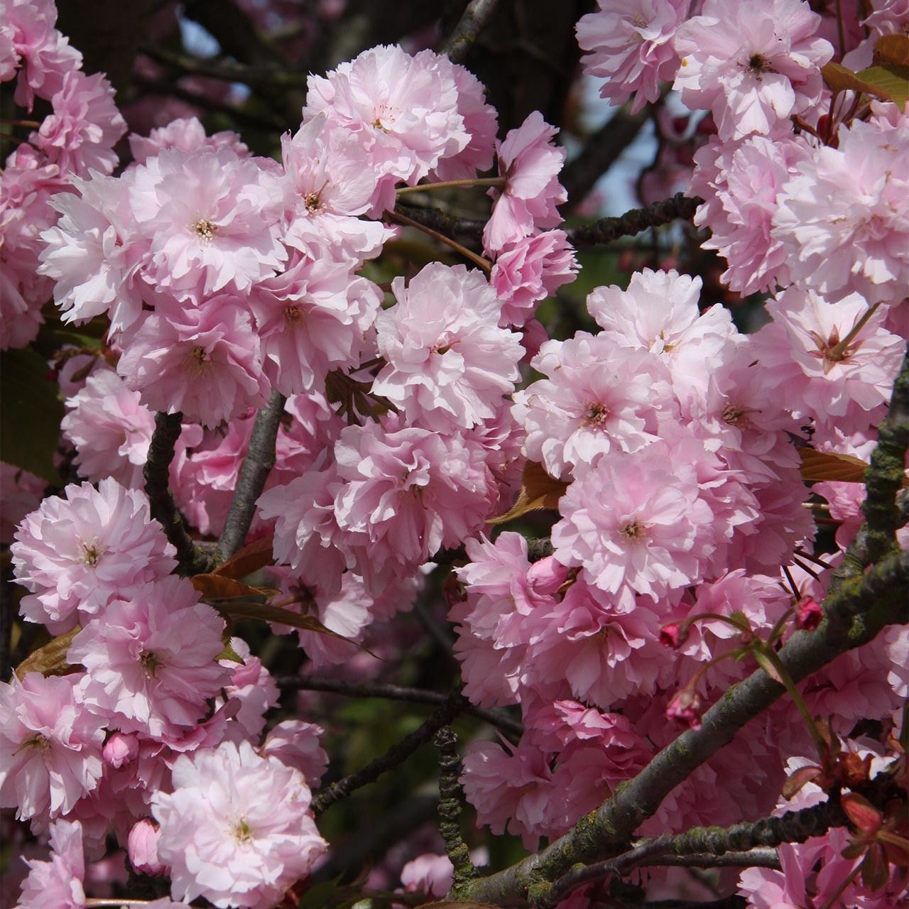 Prunus Kanzan Ornamental Cher Dobbies Ornamental Cherry Spring Flowering Trees Flowering Trees