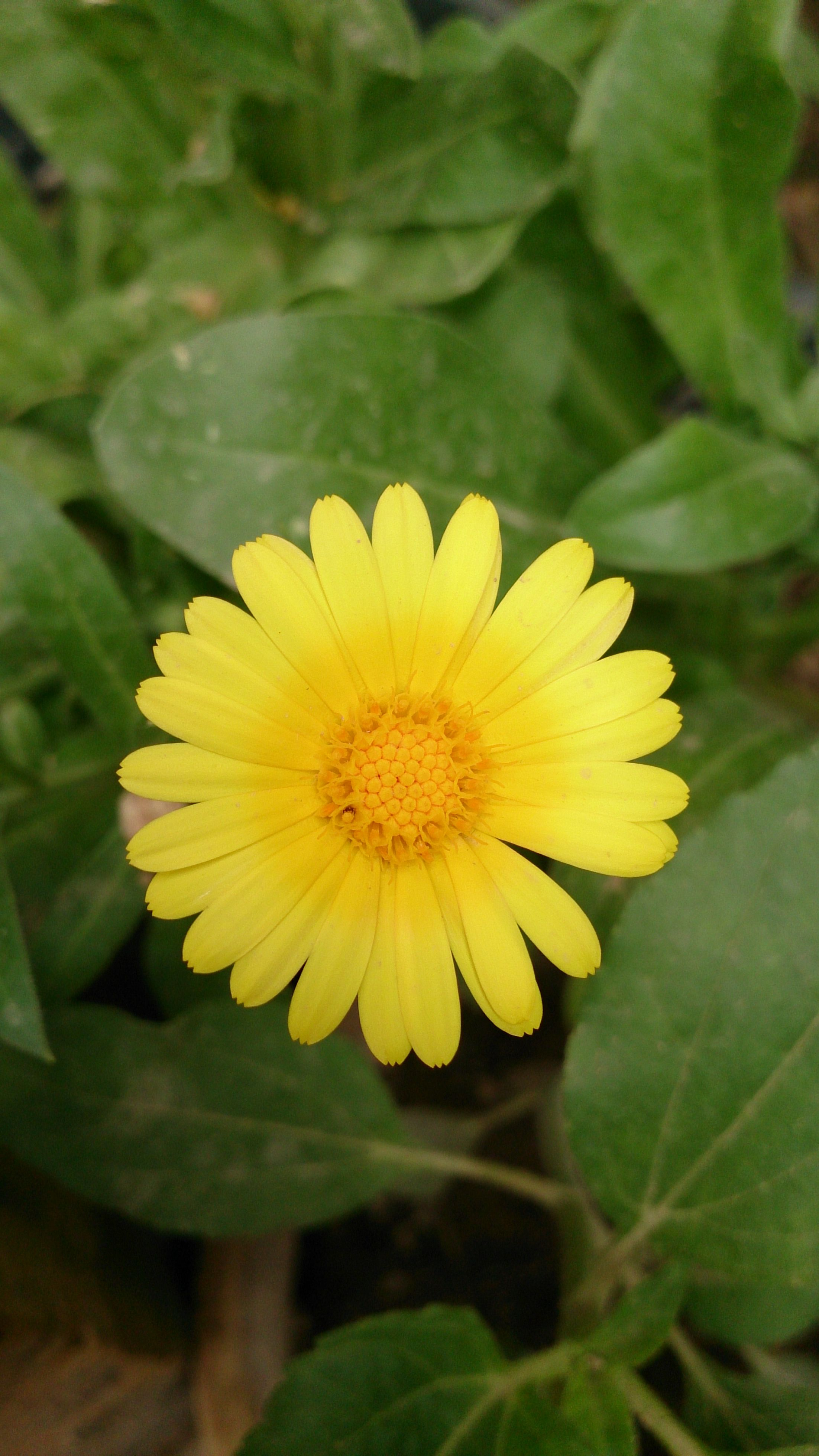 گل همیشه بهار calendula Plants, Garden