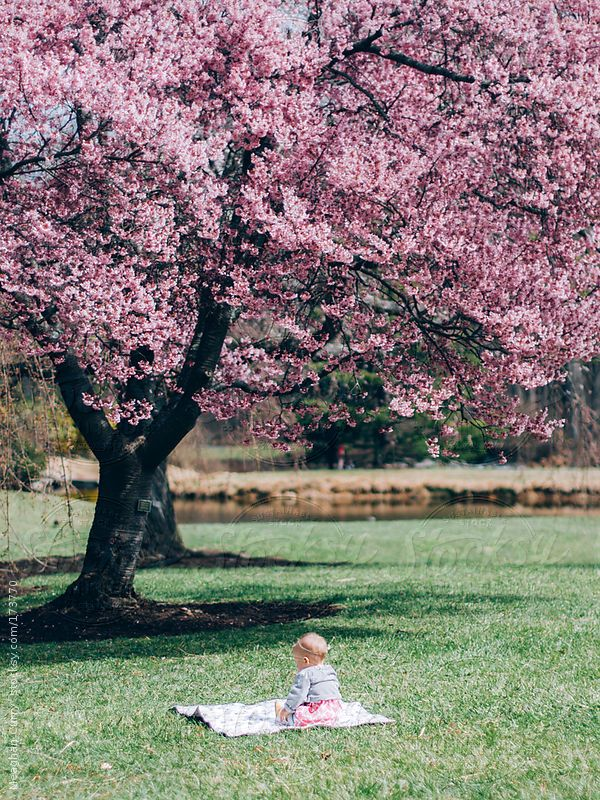 Baby Sitting Under A Cherry Blossom Tree By Meaghan Curry Cherry Blossom Tree Stock Imagery Tree