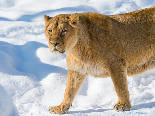 Joy, the lioness, walking in the snow