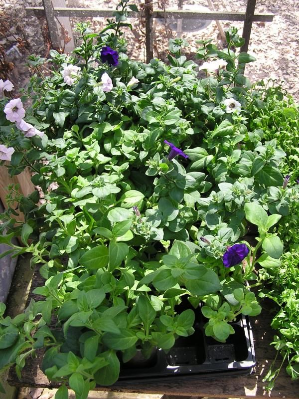 Having Trouble Growing Petunia From Seed Forum Gardenweb