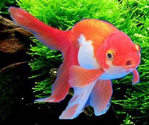 Buy Panda Oranda Goldfish Shukin Goldfish Goldfish Oranda Goldfish Salt Water Fish