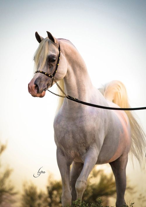 Equine Photography And Artwork By Lysa Roman Lysa Roman Studio Equine Photography Horses Beautiful Arabian Horses