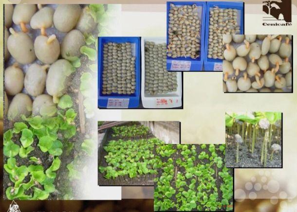 Producción y distribución de semillas de variedades de café mejoradas