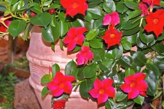 Dipladenia, beautiful trumpet blooms for suspensions and shrub pots