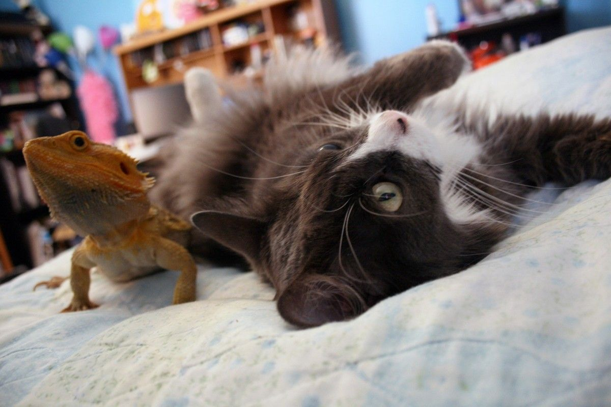 Puppet The Cat Is Madly In Love With Puff The Bearded Dragon Video Bearded Dragon Cute Animals Cats
