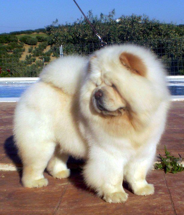 Cream Chow Chow Chow Chow Chow Dogs Chow Chow Dogs