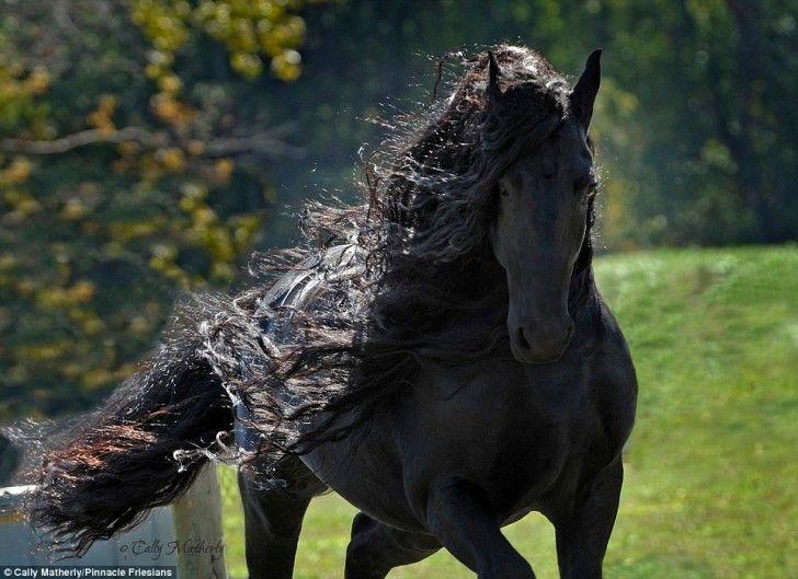 Er Gilt Als Das Schonste Pferd Der Welt Seine Eleganz Ist Unbeschreiblich Video Turnierpferde Schonste Pferde Schone Pferde