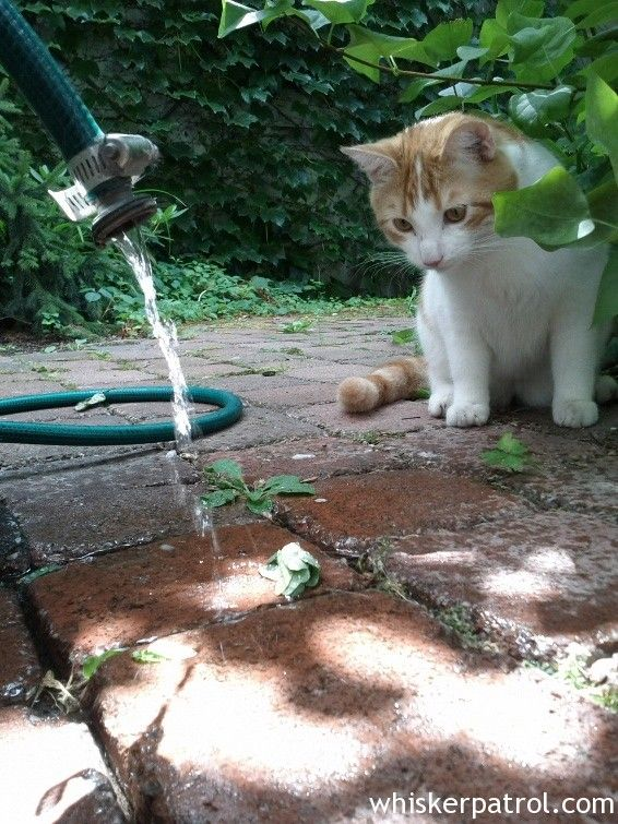Dobson and the garden hose Orange tabby cats, Cat garden