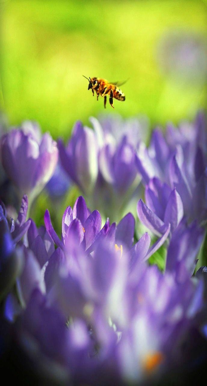 Sweet Bee Of Spring Flowers Bees