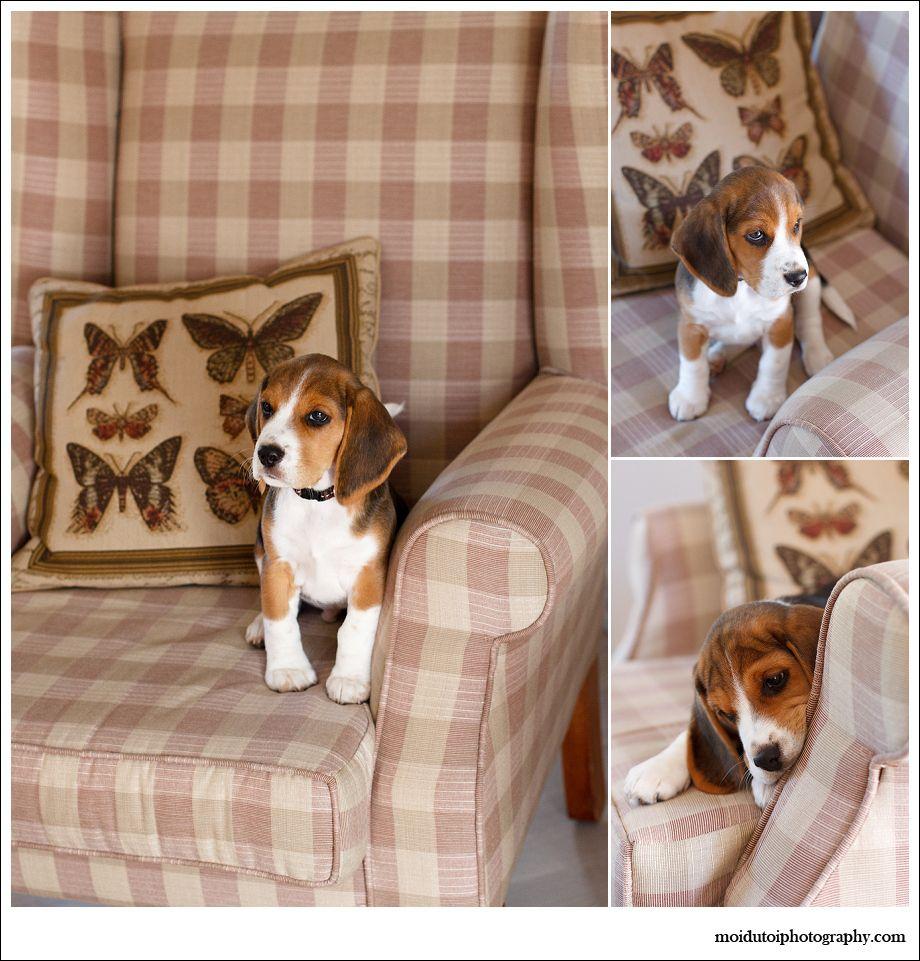 Kody Beagle Puppy 1153 Jpg 920 961 Puppies Beagle Puppy Dogs