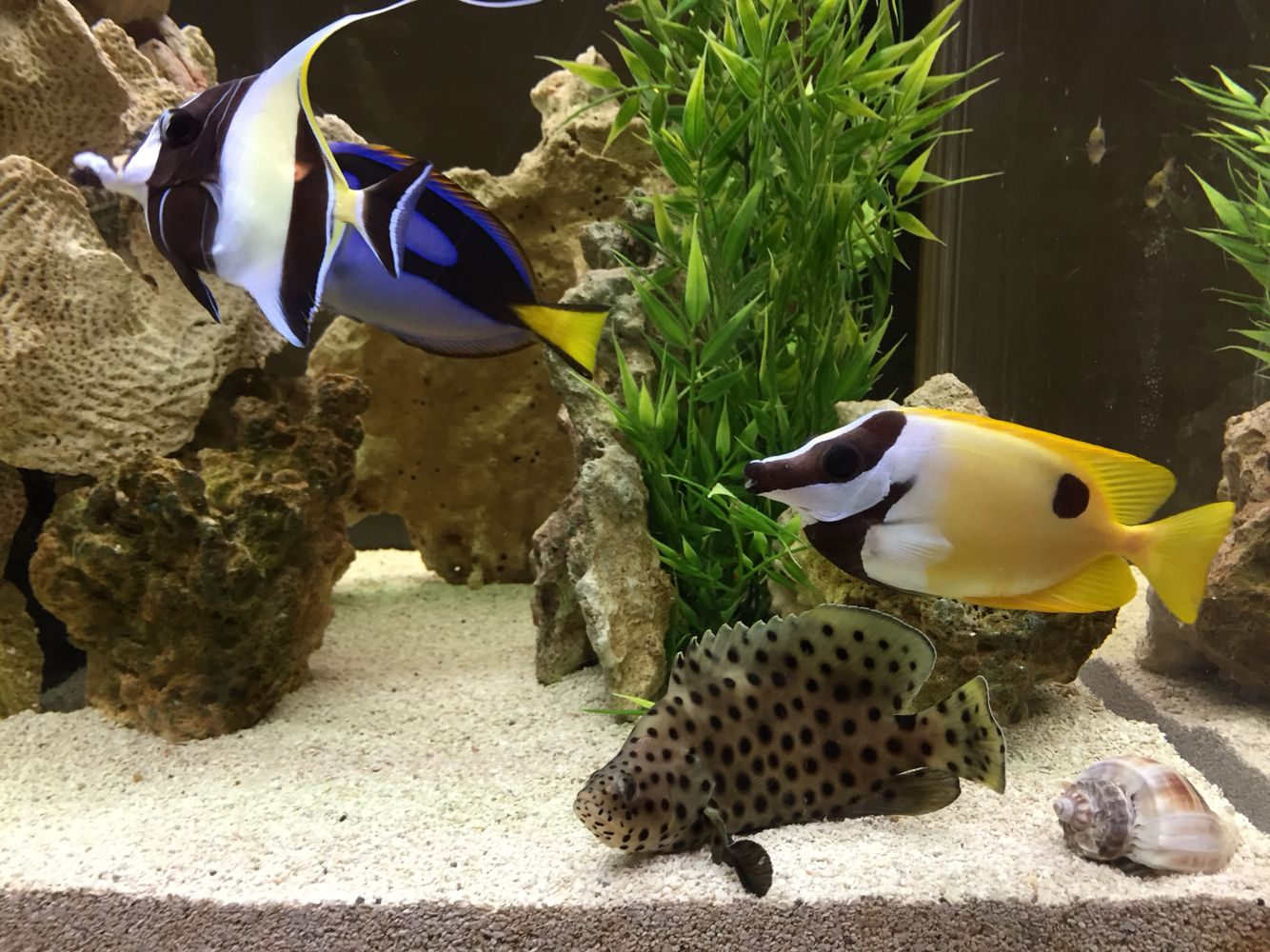 All-star gathering in Hou's Aquarium with Moorish Idol, Hippo Tang, Foxface and Panther Grouper.